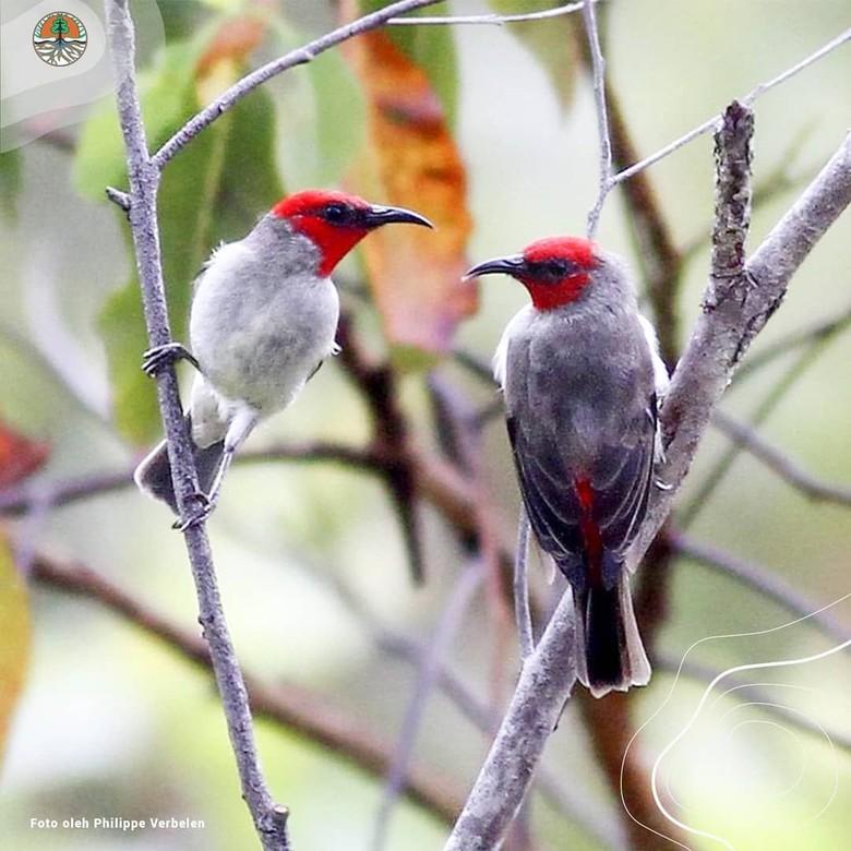 Myzomela Alor, Burung Cantik yang Baru Ditemukan di Pulau Alor NTT