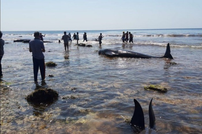 Sebanyak 17 ekor paus terdampar di pantai di Pulau Sabu, NTT (Foto: dok. DKP Kabupaten Sabu Raijua via Antara)