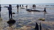 17 Paus Pilot Terdampar di Pulau Sabu NTT, 7 Ekor Mati