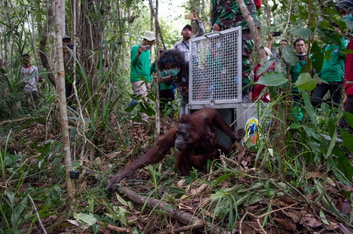 Foto: orang utan mama sifa dan bayinya di kalimantan barat (dokumen tim IAR Indonesia)