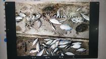 Ikan hingga Ular Laut Mati Misterius di Pantai Maluku, Ini Kata BNPB