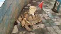 Tega! Punggung Penyu di Kebun Binatang Ini Ditempeli Keranjang