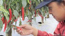 Carvi Agrihorti, Cabai Varietas Unggulan Baru yang Tahan Virus