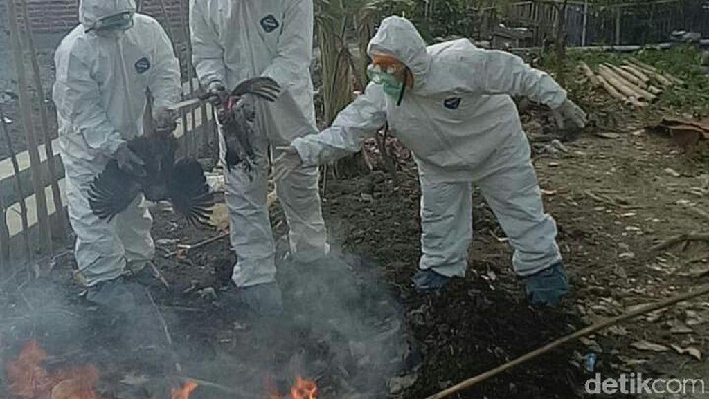 Positif Flu Burung, Belasan Unggas di Tegal Dibakar