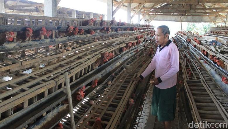 Harga Telur Merosot, Peternak di Lamongan Tunda Peremajaan