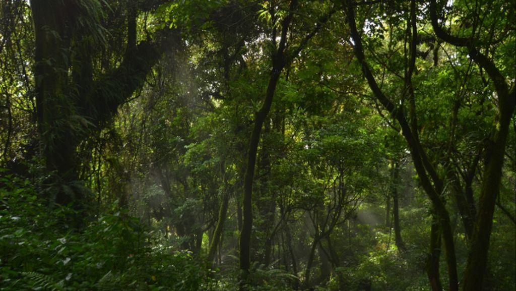 Lumut Hutan Gunung Slamet