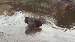 BKSDA Lepaskan Anak Gajah yang Kena Jerat di Riau