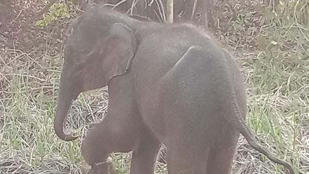 Viral, 2 Ekor Gajah Melintas di Lapangan Golf Riau