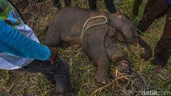 Kasihan! Anak Gajah Sumatera Kena Jerat Pemburu