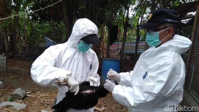 Sejumlah unggas di Kota Tegal terkena flu burung, Kamis (17/10/2019).
