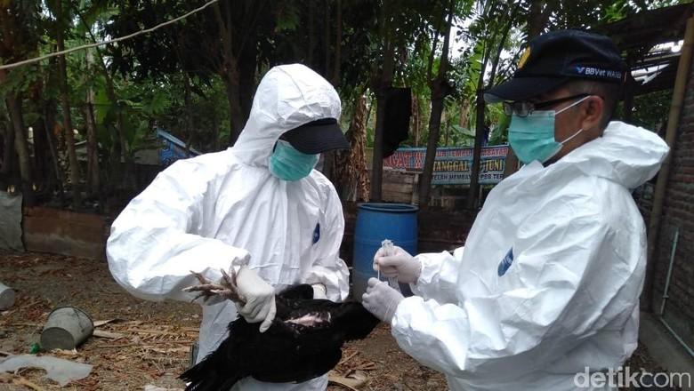 Virus Flu Burung di Tegal, Petugas Ambil Sampel Darah Unggas