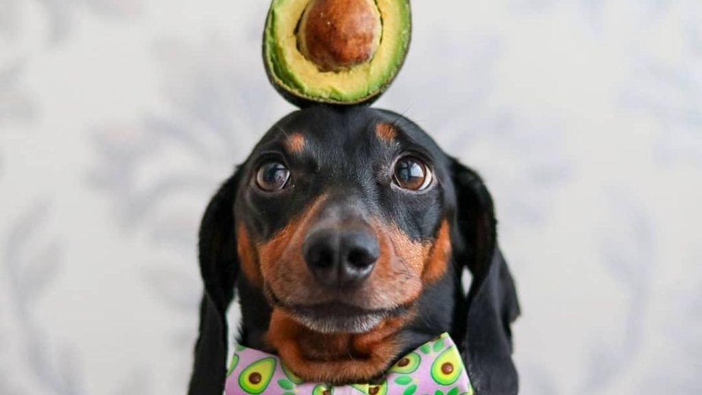 Ini Harlso, Anjing Imut yang Pintar Seimbangkan Makanan di Kepala