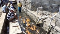 Saluran Irigasi Penuh Sampah di Banyuwangi Disulap Jadi Kolam Ikan Ala Jepang