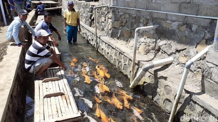 Ikan berkembang biak di saluran irigasi sawah (Foto: Ardian Fanani)