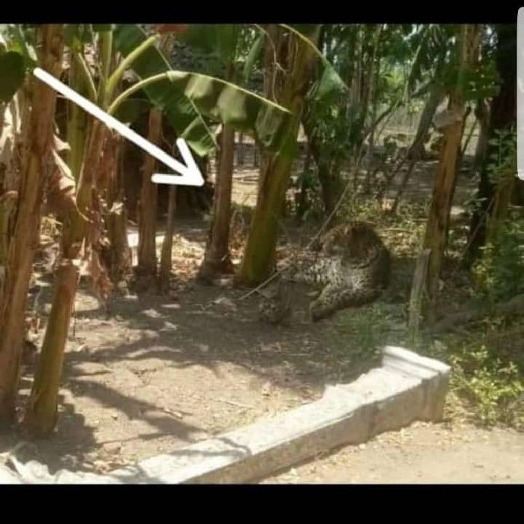 Kepala Desa Yakin Foto Macan Tutul di Sumberejo Ponorogo Hoax
