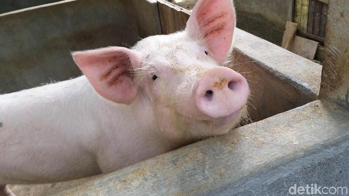 biogas dari kotoran babi di bali