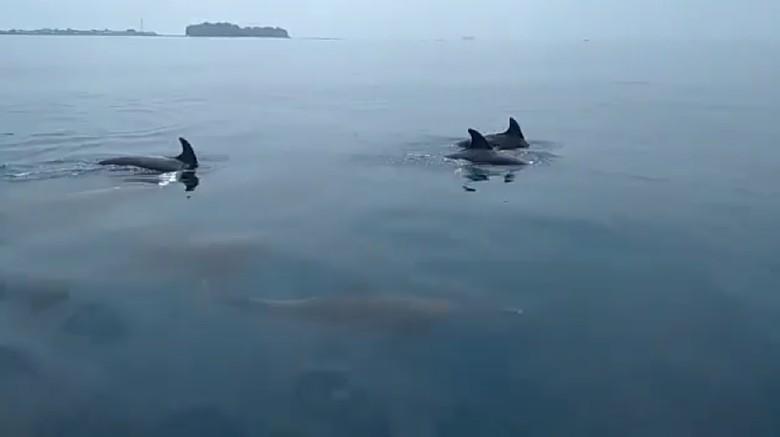 Kawanan Lumba-lumba Muncul di Kepulauan Seribu