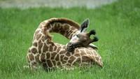 Dengan bentuk tubuh yang unik, lehernya lebih panjang dari badannya, tidur jadi PR tersendiri bagi seekor Jerapah. Beruntung dia bisa mengakalinya. (BoredPanda)