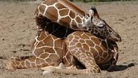 Sebagai hewan dengan bentuk fisik yang berbeda, tidur memang jadi masalah tersendiri bagi Jerapah. Jerapah tidak bisa berbaring dan bangun dengan cepat sehingga rawan buat pemangsa. (BoredPanda)