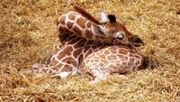 Hingga tahun 1950-an, para peneliti percaya bahwa Jerapah tidak tidur seperti hewan lainnya. (BoredPanda)