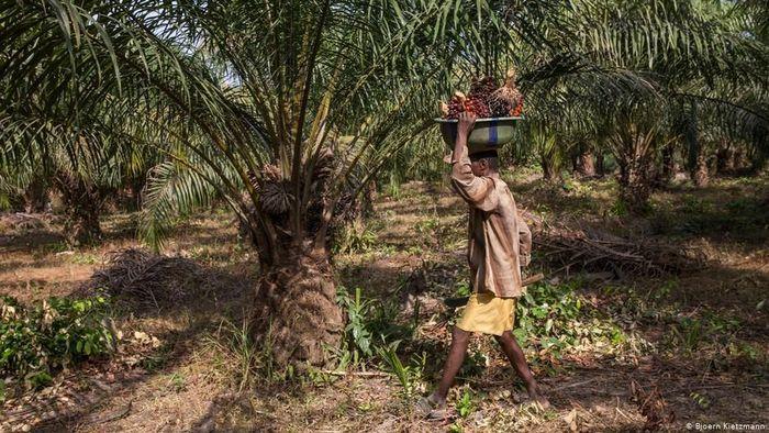 Ilustrasi kelapa sawit. Foto: DW (News)