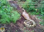 Ular Piton Raksasa Ditemukan di Bengkalis, Panjangnya 8 Meter