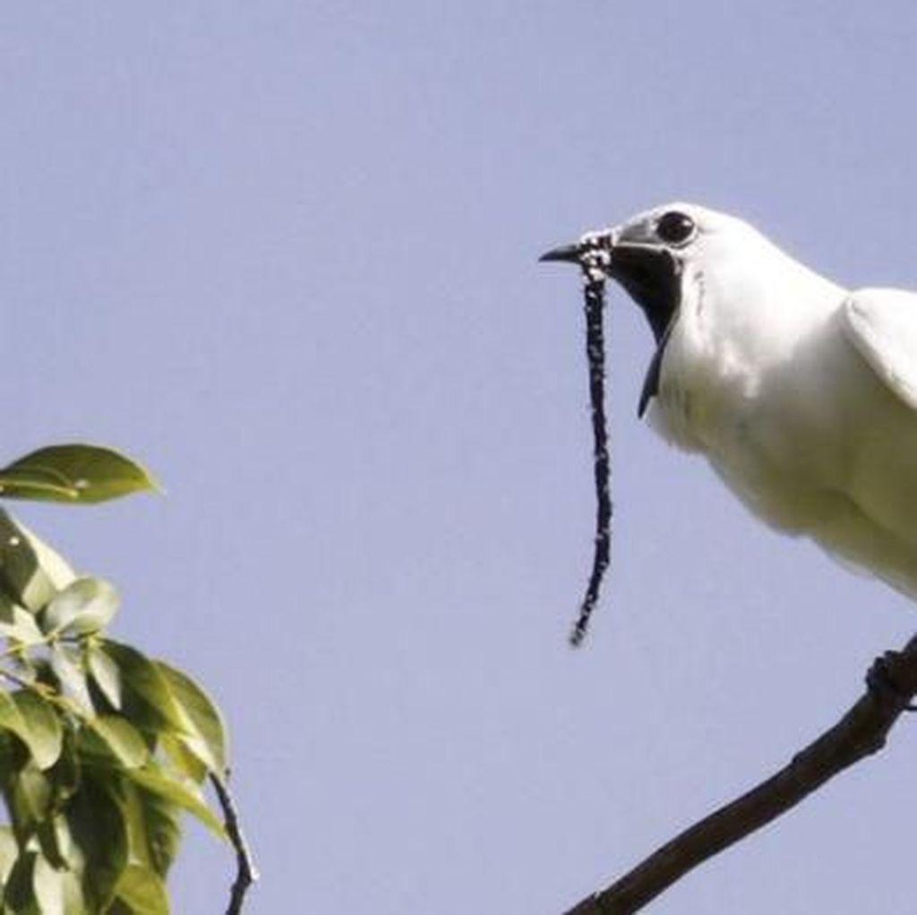 Cuitan Burung Ini Saat Kawin Lebihi Ambang Batas Rasa Sakit Manusia