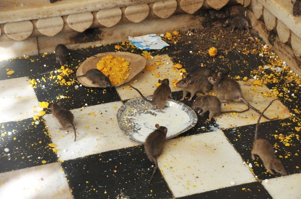 Saking berharganya, bahkan sisa makanan dan minuman tikus-tikus ini dianggap berkhasiat (iStock)