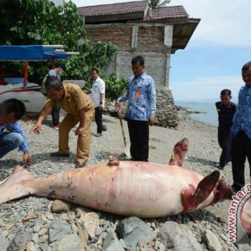 2 Ikan Duyung Mati Kena Jerat Nelayan di Maluku