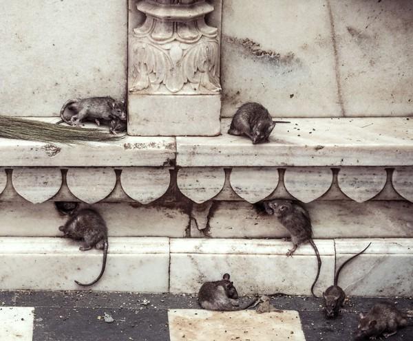 Ya, traveler jangan kaget jika begitu menginjakkan kaki masuk ke dalam kuil, lalu disambut oleh penampakan sekawanan tikus berwarna hitam (iStock)