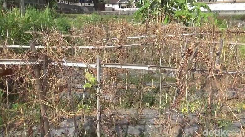 Jerit Petani Sayuran di Pasuruan yang Dilanda Kekeringan