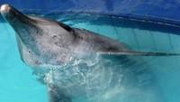Dari 4 ekor lumba-lumba yang diselamatkan, satu bernama Dewa mengalami luka-luka di bagian perut karena disuruh melakukan atraksi melompat dari air. Dewa terluka karena mendarat ke bagian keramik kolam renang yang pecah-pecah. (dok. The Dolphin Project)