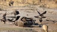 Terbesar di Sejarah Zimbabwe, Ribuan Hewan Direlokasi Akibat Kekeringan