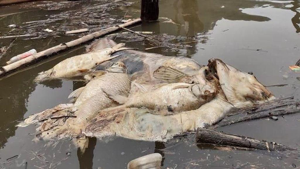 Hulu Batang Maek Sumbar Tercemar Tambang Timah, Ribuan Ikan Mati