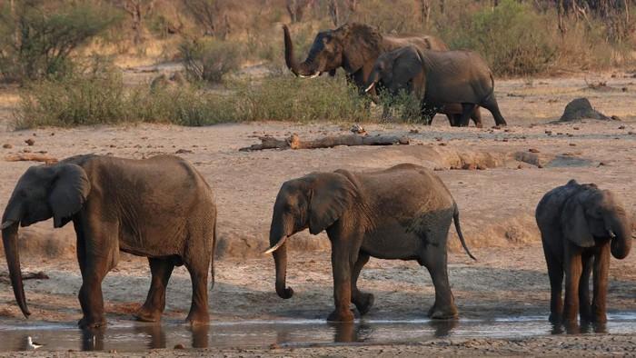 Puluhan gajah mati kelaparan imbas kekeringan di kawasan Zimbabwe. Kemarau yang melanda tak jarang membuat gajah memasuki permukiman warga untuk mencari makanan.
