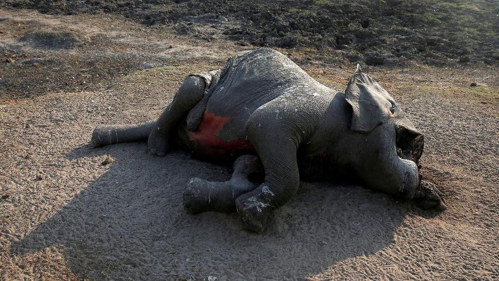 Sedih, Gajah di Sri Lanka Dipaksa Bekerja Sampai Mati