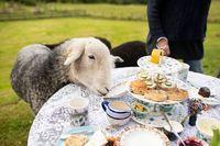 Seru! Di Sini Bisa Afternoon Tea Bareng Domba-domba Lucu