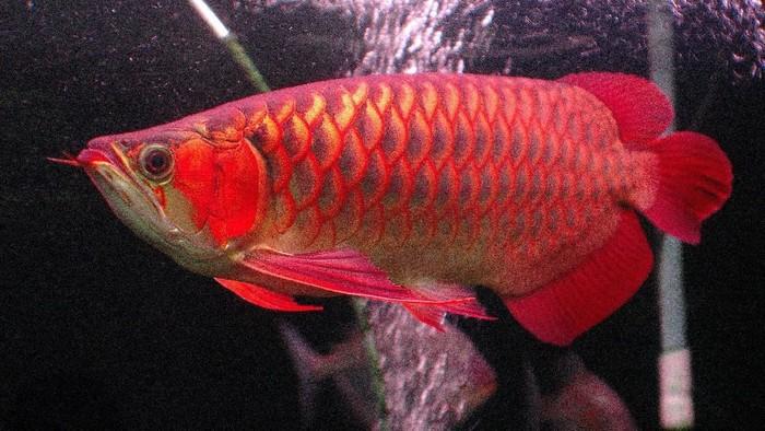 Ikan Arwana Sushi