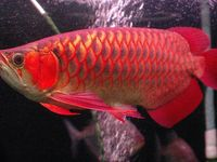 10 Jenis Ikan Hias Populer Yang Mudah Dipelihara