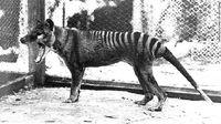 Potret terakhir harimau tasmania di tahun 1936 di suatu kebun binatang di Australia