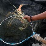 Dilema Edhy Prabowo Soal Benih Lobster, Buka Ekspor atau Diselundupkan