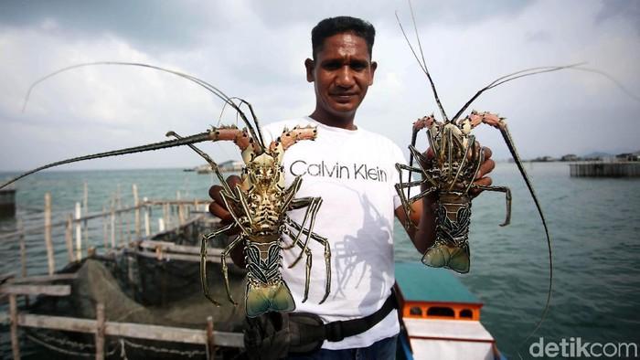 Lobster jadi salah satu hasil laut yang memiliki nilai jual cukup tinggi. Di Kabupaten Natuna, bisnis lobster ini pun cukup menjanjikan.