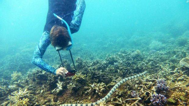 Sekelompok Nenek Bantu Peneliti Temukan Ular Laut Mematikan