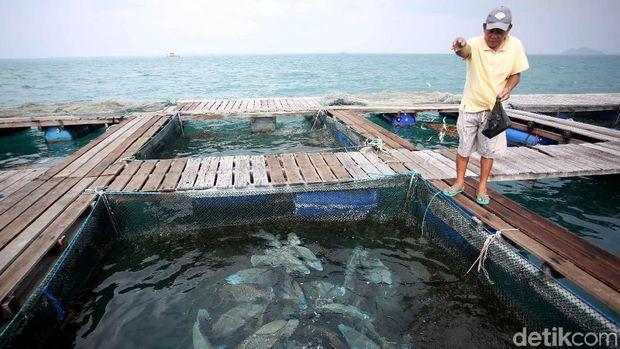 Selain lobster, ikan napoleon juga menjadi salah satu hasil laut andalan dari Natuna. Yuk, lihat proses budidaya ikan tersebut.
