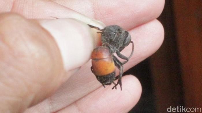 Teror tawon vespa atau Vespa affinis, bagaimana efek sengatannya? Foto: Achmad Syauqi