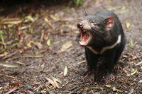 Tasmania atau populer dengan nama Tasmanian Devil