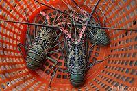 Imbas Virus Corona, Harga Lobster Turun Drastis