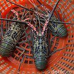 Bukan Barang Baru, Penyelundupan Benih Lobster Sudah ada Sejak 2010