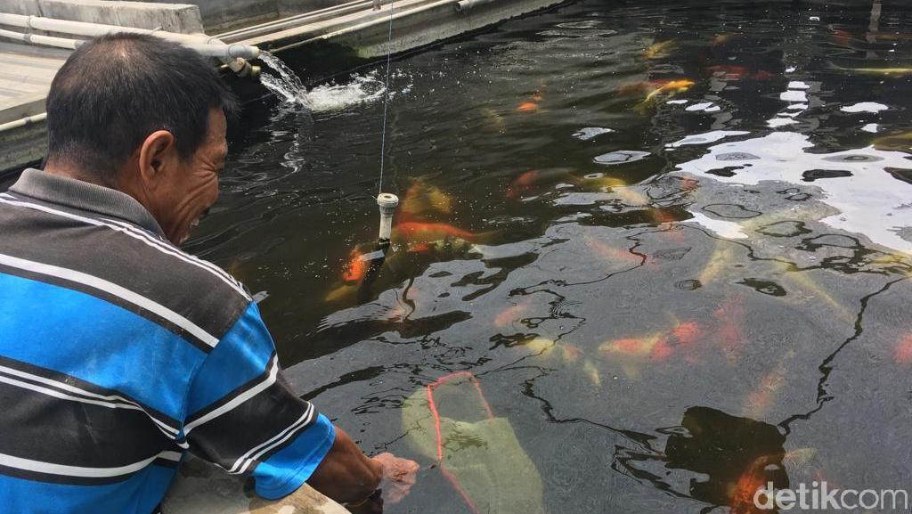 Peternak Ikan Koi di Mojokerto Rugi Rp 10 Juta Akibat Cuaca Panas