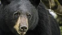 Turis Dibuat Kaget, Ada Beruang Hitam Berkeliaran di Penginapan